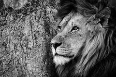 Mono primo piano del leone maschio dal tronco Fotografia Stock