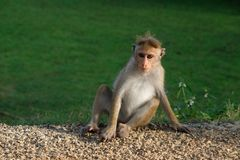 Mono que asienta tan fresco en la naturaleza, Sri Lanka, Asia imagen de archivo libre de regalías