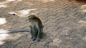 Mono que busca la comida en la calle que camina almacen de metraje de vídeo