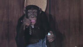 Mono que cepilla sus dientes almacen de metraje de vídeo