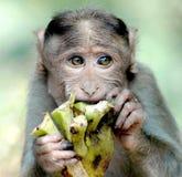 Mono que come algo Fotografía de archivo libre de regalías