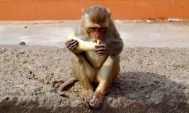 Mono que come el plátano Imagenes de archivo
