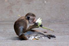 Mono que come la flor Imágenes de archivo libres de regalías