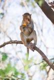 Mono que come la fruta Fotografía de archivo