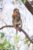 Mono que come la fruta Imágenes de archivo libres de regalías