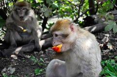 Mono que come un pedazo de fruta Imágenes de archivo libres de regalías