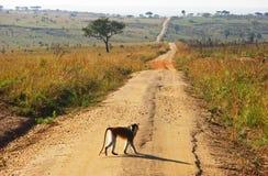 Mono que cruza el camino de tierra largo del enrollamiento Foto de archivo
