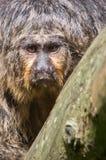 Mono que mira detrás usted Fotos de archivo