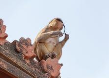 Mono que mira a través de las gafas de sol Fotografía de archivo libre de regalías