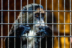Mono que mira a través de la célula del parque zoológico Imagen de archivo libre de regalías