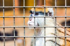 Mono que mira a través de la célula del parque zoológico Fotografía de archivo libre de regalías