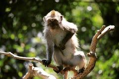 Mono que pica Fotografía de archivo