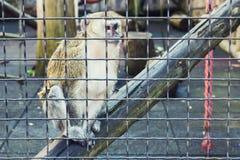 Mono que piensa en una jaula Imagen de archivo libre de regalías