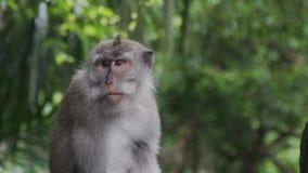 Mono que rasguña su nariz en el mono Forest Bali Indonesia metrajes