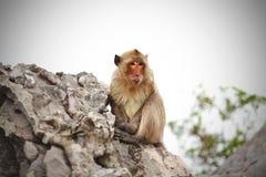Mono que se aferra en las rocas en Asia Imágenes de archivo libres de regalías