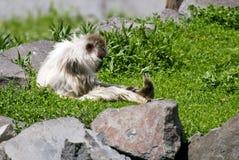 Mono que se reclina al aire libre Imagen de archivo libre de regalías