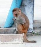 Mono que se sienta Imágenes de archivo libres de regalías