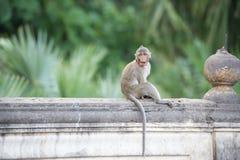 Mono que se sienta en la pared, mono Tailandia del contacto visual Fotografía de archivo