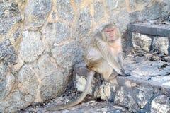 Mono que se sienta en las escaleras Fotos de archivo libres de regalías