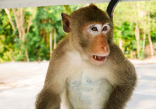 Mono que sienta y que mira la comida Foto de archivo libre de regalías