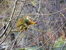 Mono que toma una rotura Foto de archivo libre de regalías
