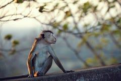Mono resentido Foto de archivo