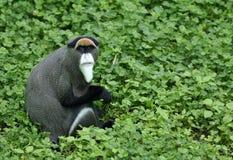 Mono rojo de la cola larga de la cantidad Imagen de archivo libre de regalías