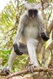 Mono rojo del colobus (kirki de Piliocolobus) Imagen de archivo libre de regalías