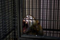 Mono salvaje cerrado en una jaula Imágenes de archivo libres de regalías