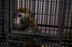 Mono salvaje cerrado en una jaula Fotografía de archivo