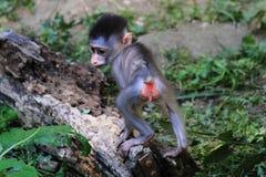 mono salvaje del babuino fotografía de archivo