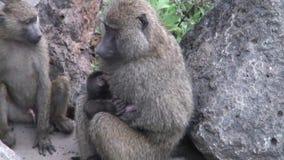 Mono salvaje del babuino con el bebé en la sabana de Botswana del africano