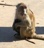 Mono salvaje divertido Fotos de archivo libres de regalías