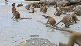Mono salvaje que alimenta en el seabeach del huahin Prachuap Khiri Khan meridional de Tailandia almacen de video