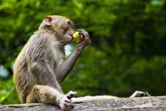 Mono salvaje que come la fruta Fotos de archivo