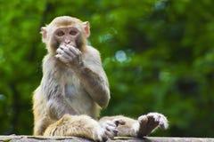 Mono salvaje que come la fruta fotos de archivo libres de regalías