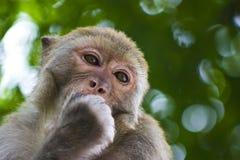 Mono salvaje que come la fruta Imágenes de archivo libres de regalías
