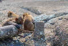 Mono salvaje que mira fijamente en el espacio Tailandia Fotografía de archivo libre de regalías