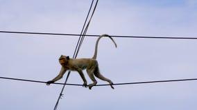 Mono salvaje que sube en línea eléctrica urbana del electrict metrajes
