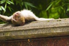 Mono salvaje que toma el sol en una repisa Foto de archivo libre de regalías