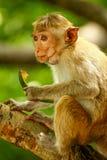 Mono srilanqués Imagen de archivo libre de regalías