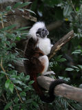 Mono superior del Tamarin del algodón (Saguinus Oedipus) Fotografía de archivo