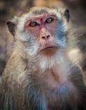 Mono tailandés Imagen de archivo libre de regalías
