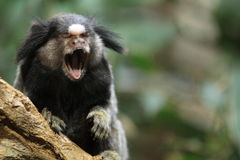 Mono tití común Foto de archivo