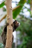 Mono tití copetudo blanco común del oído fotografía de archivo
