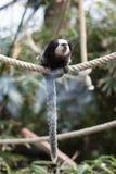 Mono tití del ` s de Geoffroy - Monkey sentarse en cuerda foto de archivo