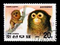 Mono tití enano (pygmaea) del Cebuella, año del serie del mono, círculo Foto de archivo libre de regalías