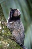 mono tití Negro-copetudo, primate endémico del Brasil imagen de archivo