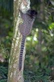 mono tití Negro-copetudo, primate endémico del Brasil imágenes de archivo libres de regalías