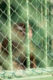 Mono triste capturado en un parque zoológico Fotografía de archivo libre de regalías